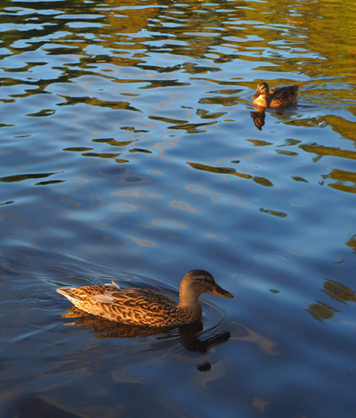 Ducks1400